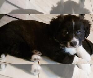 Cardigan Welsh Corgi Puppy for sale in DEFUNIAK SPGS, FL, USA