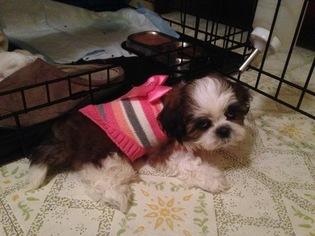 Puppyfinder com: Shih Tzu puppies puppies for sale near me