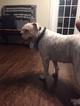 American Bulldog Puppy For Sale in LOCKHART, FL, USA