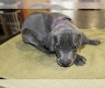 Puppy 6 Weimaraner