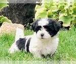 Zuchon Puppy For Sale in ORLAND PARK, IL, USA