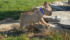 French Bulldog Puppy For Sale in FARMINGTON, MO