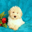 Havanese-Poodle (Toy) Mix Puppy For Sale in GAP, PA, USA