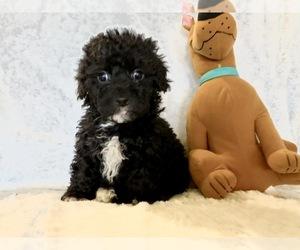 Maltipoo Puppy for Sale in ANAHEIM, California USA