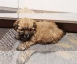 Small Photo #3 Zuchon Puppy For Sale in SHAWNEE, KS, USA