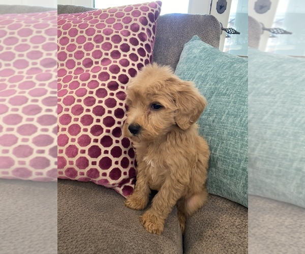 Medium Photo #3 Australian Labradoodle Puppy For Sale in FLORENCE, AL, USA