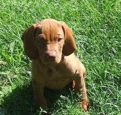 Vizsla Puppy For Sale in LINDEN, MI, USA