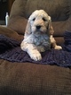 Goldendoodle Puppy For Sale in LEBANON, IN, USA