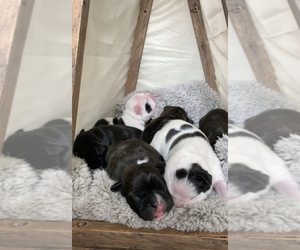 Faux Frenchbo Bulldog Puppy for Sale in NINE MILE FALLS, Washington USA