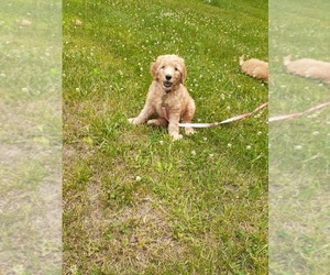 Goldendoodle Puppy for sale in STURGIS, MI, USA