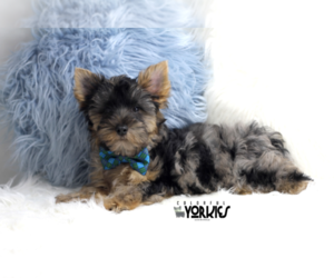Yorkshire Terrier Puppy for sale in KELLER, TX, USA