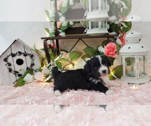 Miniature Australian Shepherd Puppy for Sale in COLLEGE STA, Texas USA