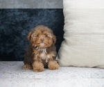 Puppy 1 Poodle (Toy)-Yorkshire Terrier Mix