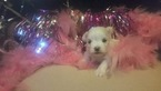 Maltese Puppy For Sale in LEXINGTON, Kentucky,