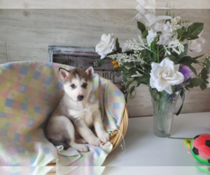 Siberian Husky Dog for Adoption in ANN ARBOR, Michigan USA