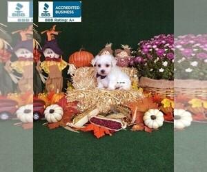 Maltese Puppy for sale in WINNSBORO, LA, USA