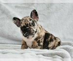 French Bulldog Puppy For Sale in COPPELL, TX, USA