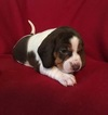 Beagle Puppy For Sale in PINCKNEY, MI