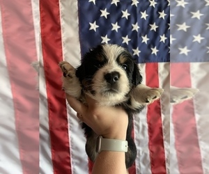 Australian Shepherd Puppy for Sale in WISNER, Nebraska USA