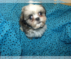 Zuchon Puppy for Sale in PATERSON, New Jersey USA