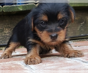 Yoranian Puppy for Sale in HUDDLESTON, Virginia USA
