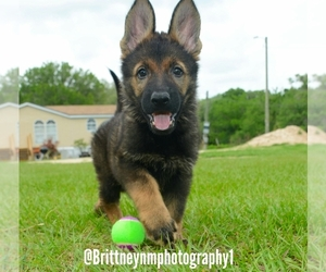 German Shepherd Dog Puppy for sale in MULBERRY, FL, USA