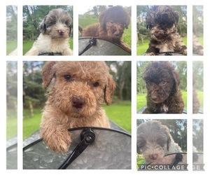 Aussiedoodle-Poodle (Miniature) Mix Dog for Adoption in PROSPECT, Pennsylvania USA
