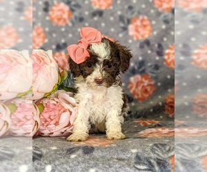 Poodle (Miniature) Puppy for sale in LINCOLN UNIV, PA, USA