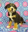 Greater Swiss Mountain Dog Puppy For Sale in RIVERSIDE, IA
