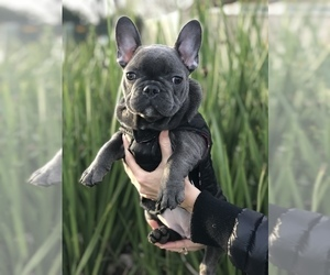 French Bulldog Dog for Adoption in SACRAMENTO, California USA