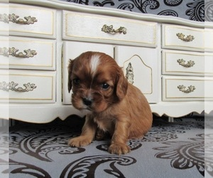 Cavalier King Charles Spaniel Dog for Adoption in LE MARS, Iowa USA