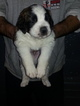 Saint Bernard Puppies 6 LEFT