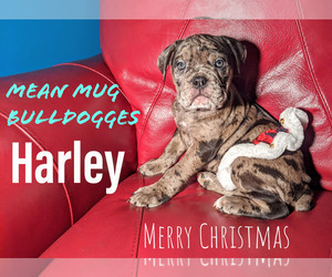 Olde English Bulldogge Puppy for Sale in LOUISVILLE, Kentucky USA