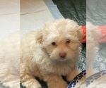 Puppy 3 Lhasa-Poo
