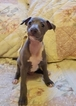 Italian Greyhound Puppy For Sale in LITCHFIELD, IL, USA
