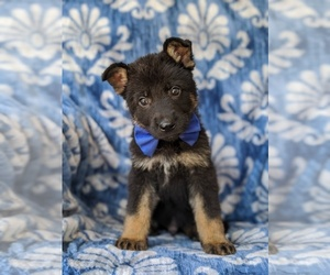 German Shepherd Dog Puppy for sale in QUARRYVILLE, PA, USA