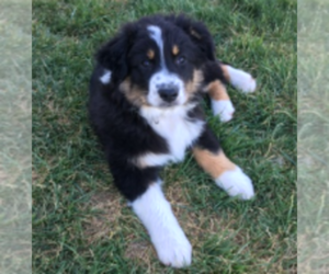 Australian Shepherd Puppy for sale in MORIARTY, NM, USA