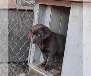 Labrador Retriever Puppy for sale in LYNDON STA, WI, USA