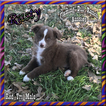 Rusty Toy Small Mini Red Tri Male Aussie