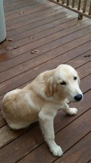 Golden Retriever Puppy For Sale in CORRYTON, TN