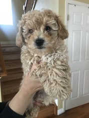 Poodle (Miniature) Puppy for sale in BRIGHTON, CO, USA