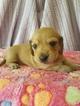 Dachshund Puppy For Sale in THORNTOWN, IN,