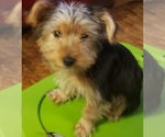 Small #6 Yoranian-Yorkshire Terrier Mix