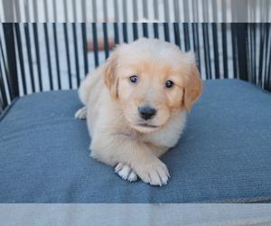 Golden Retriever Puppy for Sale in SANDIA PARK, New Mexico USA
