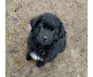 Newfoundland Puppy for Sale in BLISS, New York USA