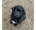Newfoundland Puppy For Sale in BLISS, NY, USA