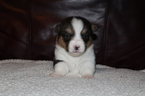 Pembroke Welsh Corgi Puppy For Sale in POWELL BUTTE, OR, USA