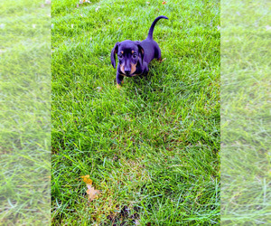 Dachshund Puppy for sale in SIOUX FALLS, SD, USA