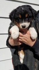 Australian Shepherd Puppy For Sale in BANCROFT, NE