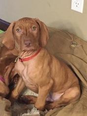 Vizsla Puppy For Sale in GLEN CARBON, IL, USA